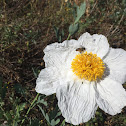 Fried Egg Flower (Matilija Poppy)