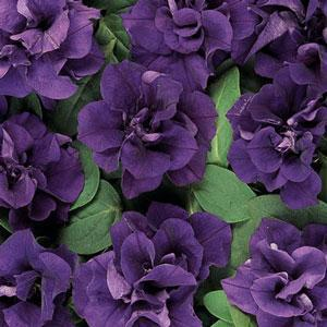 Image result for petunia double wave blue