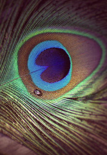 Peacock Feather by Katie McKinney - Nature Up Close Other Natural Objects ( water, natural patterns, up close, textures, drop, green, feathers, feather, water drop, nature, blue, peacock, eye )