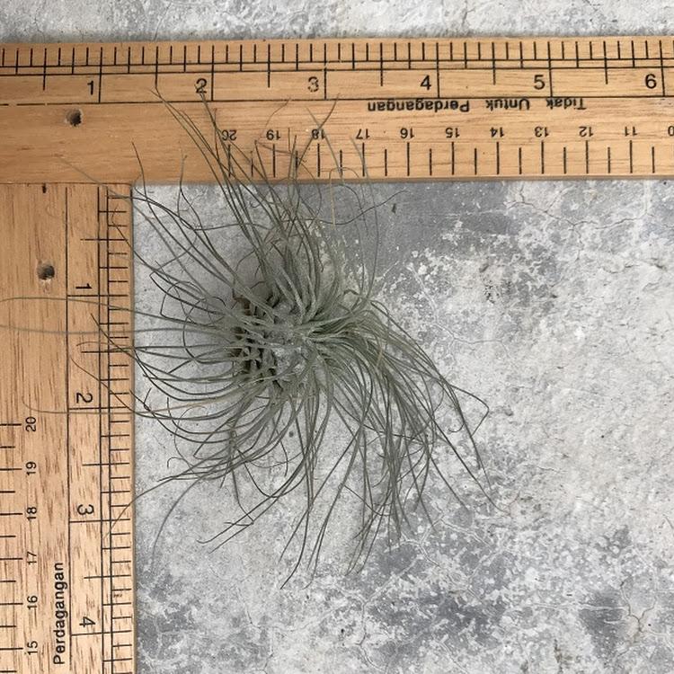 Air Plant - Tillandsia fuchsii var gracilis