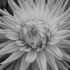 by Tesla Levine - Black & White Flowers & Plants