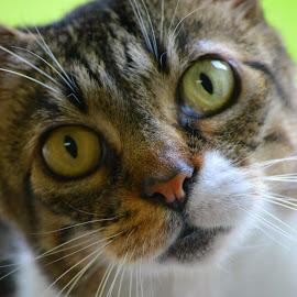 Zoe by Rhonda Kay - Animals - Cats Portraits (  )