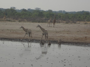 Photo: More giraffes coming