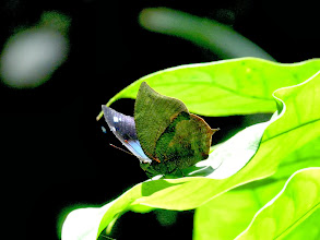 Photo: LAUREL(MORUUS) LEAFWING--anaea moruus--APUYA TRAIL--id by Jeff Glassberg