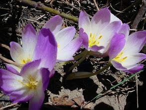 Photo: Colchicum szovitsii, Koruma altına alınması gereken bir tür.