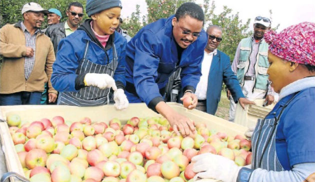 Misgund farm worker Celiwe Sitwayi shows Eastern Cape Rural Development and Agrarian Reform MEC Mlibo Qoboshiyane how Pink Lady apples are graded during the harvest, watched by Novotile Mkhankanywa