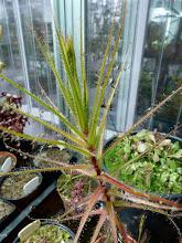 Photo: Roridula gorgonias