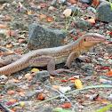 Bonaire whiptail lizard ♀️