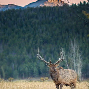 Elk in sunset (1 of 1).jpg