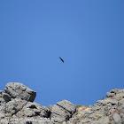 Black Vulture; Buitre Negro