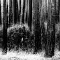 The Lonely Woods LWP icon