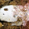 Sponge. Esponja marina
