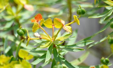 Photo: Euphorbia sp.