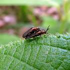 Beetles - Escarabajos