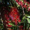 Weeping Bottlebrush Tree