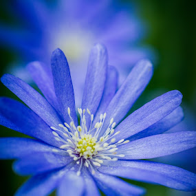 I'm blue by Ron n'Roll - Flowers Single Flower ( spring, macro, flowers, blue, closeup,  )