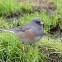 Dark-eyed Junco, Pink-sided