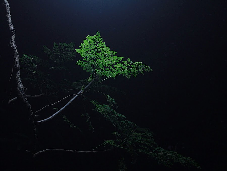 LIGHTED DARKNESS  by Zahid Rahman - Nature Up Close Trees & Bushes ( contrast, tree, branch, night, leaf, light )
