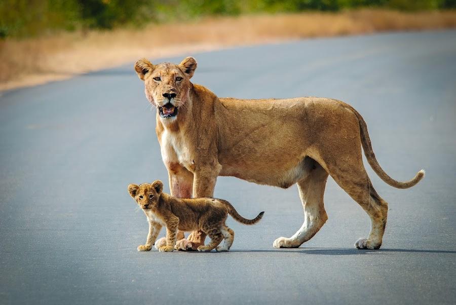 Lioness & Cub by Mariette En Willie Botha - Animals Lions, Tigers & Big Cats ( lion, cat, nature, mother, lioness, baby, big, cub )