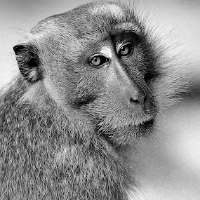 B&W macaque by Francois Wolfaardt - Black & White Animals ( face, macaque, b&w, nature, mamal, close-up, monkey, eyes )