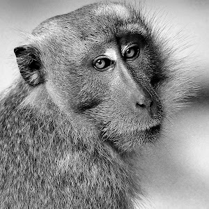Sept 15 black and white monkey.jpg