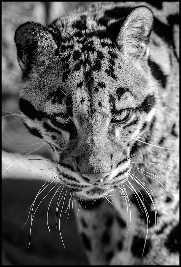 Clouded Leopard by Dave Lipchen - Black & White Animals ( clouded leopard )