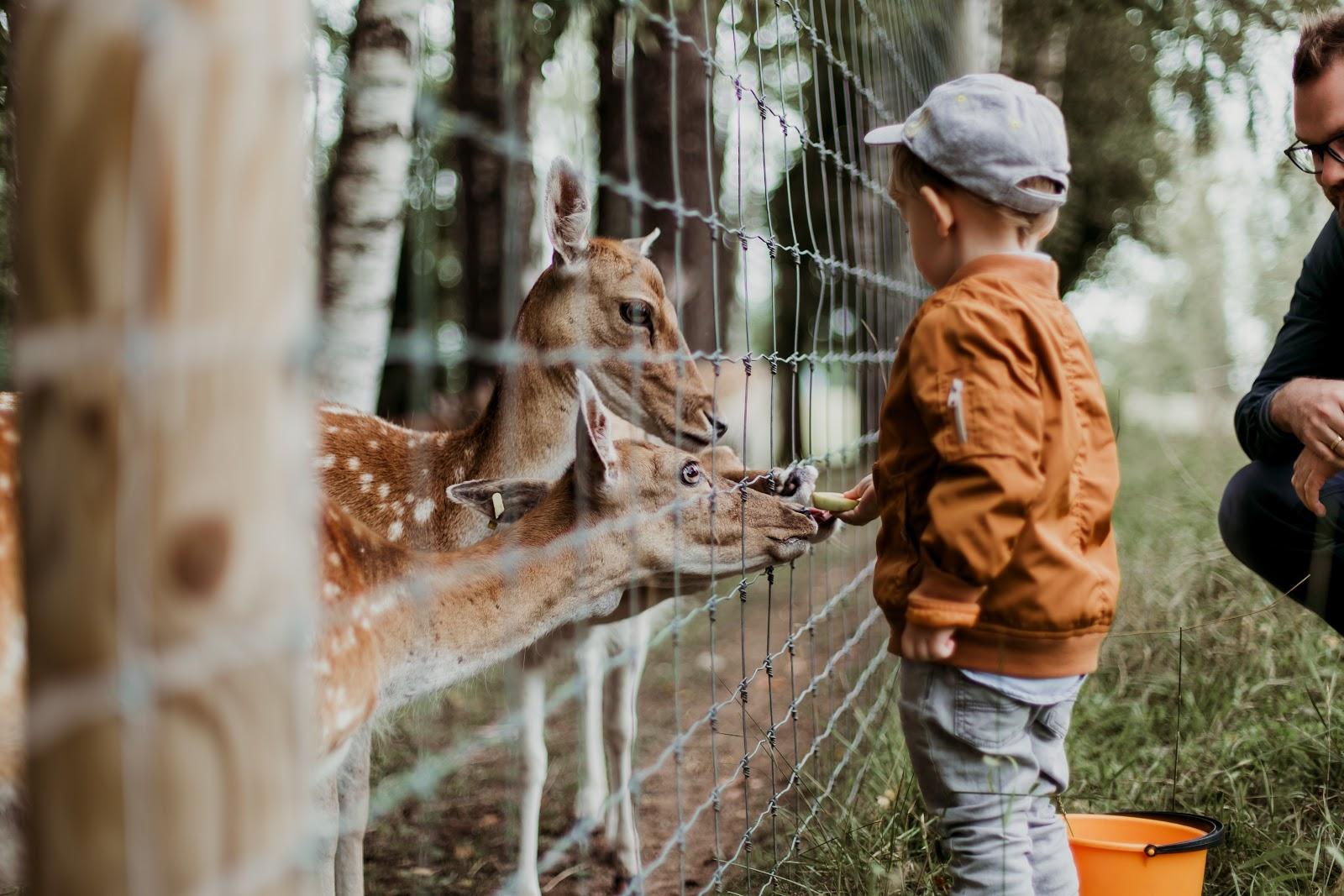 Child feeding deer through a fence