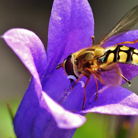 Hoverfly in Purple Flower by Amanda Blom - Animals Insects & Spiders ( #raynox, #close-up, #fujifilm, #insect, #macro, #purple, #hoverfly, #flower )