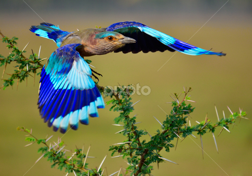 Indian Roller Takes Off From Beautiful Perch Birds Animals Pixoto