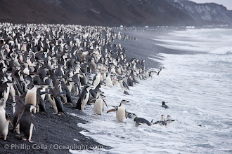 Photo: Chinstrap penguins at Bailey Head, Deception Island.  Chinstrap penguins enter and exit the surf on the black sand beach at Bailey Head on Deception Island.  Bailey Head is home to one of the largest colonies of chinstrap penguins in the world.