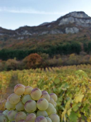La Savoyarde with grapes and vines - Savoie Wine - Domaine Yves Girard-Madoux - Vignoble de la Pierre - Chignin - Vin de Savoie