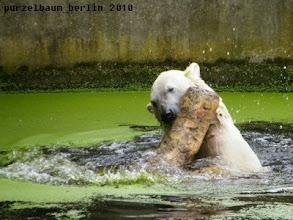 Photo: Planschender Knut :-)