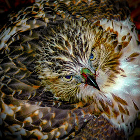 Red tailed hawk with squirrel  by Michael Haagen - Animals Birds (  )