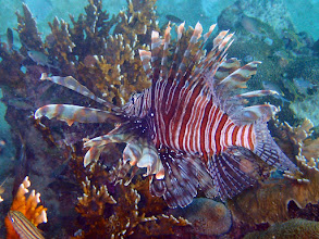 Photo: Lionfish - I had expected to see many of this invasive species, but saw only 2 over three months. - so not seeing them was a highlight. I believe the numbers are kept low by targeted fishing for Lionfish.