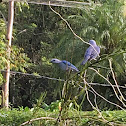 Tangara azuleja / Blue grey tanager