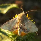 Straw moth