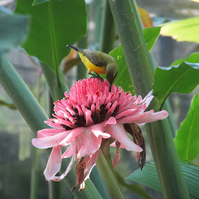 by Kim Pauly - Novices Only Wildlife ( #bird, #australian bird. #flower, #pink, australia, #feeding,  )