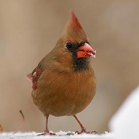 Cardinal by Michel Lapensée - Animals Birds ( bird, birds, animal )