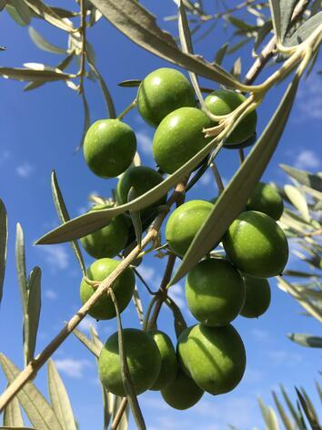 oliva verde en rama