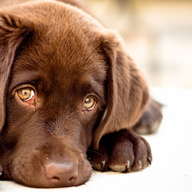 Achi cucciolo by Mariateresa Toledo - Animals - Dogs Puppies ( natural light, breed, sguardo, sad, cute, natural background, adorable dogs, mamal, baby, ritratto, animal, animalia, cucciolo, labrador, pwc84, young, portrait, canine, resting, pet, laying, puppy, zoology, rest, dog )