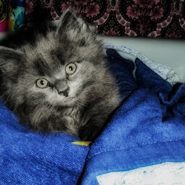 Flisan by Stephanie Heinz - Animals - Cats Kittens ( small, kitten, gray, cat, fluffy, flisan,  )