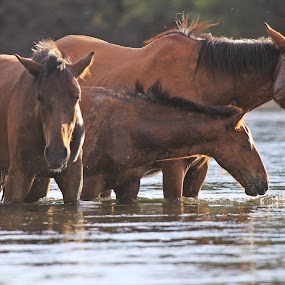 Coming Up for Air by Deb Bulger - Animals Horses ( animal family, horses in water, animals, equine, nature, horses, action, wildlife, salt river wild horses )