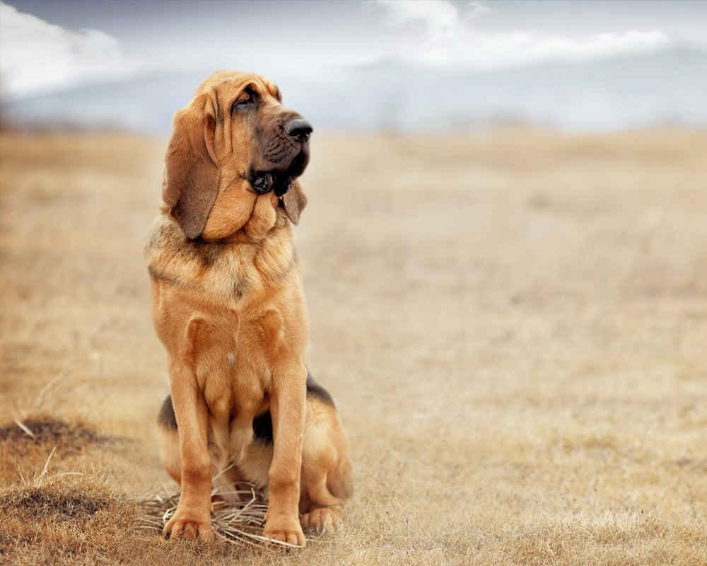 Бладхаунд (Bloodhound) - это умная, активная, серьезная порода собак. Фото,  описание породы, цены.
