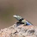 Red-spotted Minor Lizard - Lagartija Menor de Manchas Rojizas