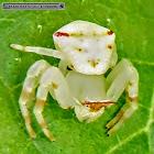 Flower-crabspider