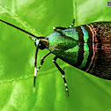 Green-striped Moth 綠紋閃舞蛾
