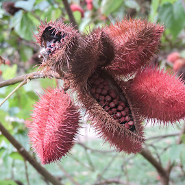 Seed Pods by Gail Marsella - Nature Up Close Other plants ( red, tropical, pods, costa rica, seeds )