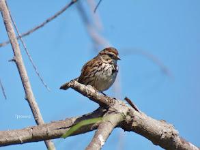 Photo: Song Sparrow Tony Provenzano