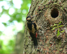 Photo: Greater Spotted Woodpecker in Northcliffe Wood Shipley