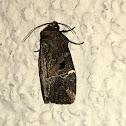 Variegated Midget Moth